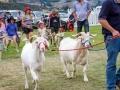 Bills-bloody-goats