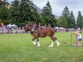 Clydesdale display