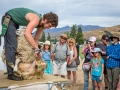 Sheep Shearing with a crowd